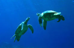 green-sea-turtles-playing-11305799